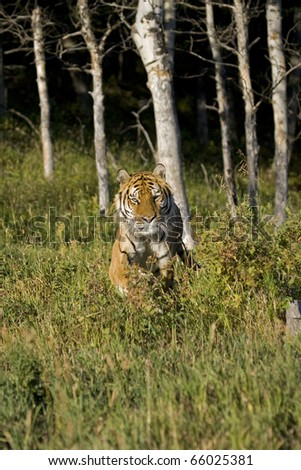 Siberian Tiger running at the edge of the woods