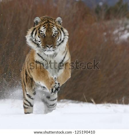 Siberian Tiger running in snow