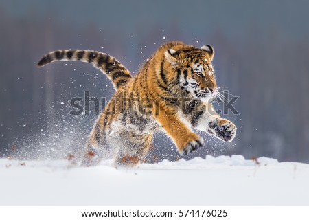 Shutterstock Siberian Tiger running in snow. Beautiful, dynamic and powerful photo of this majestic animal. Set in environment typical for this amazing animal. Birches and meadows.