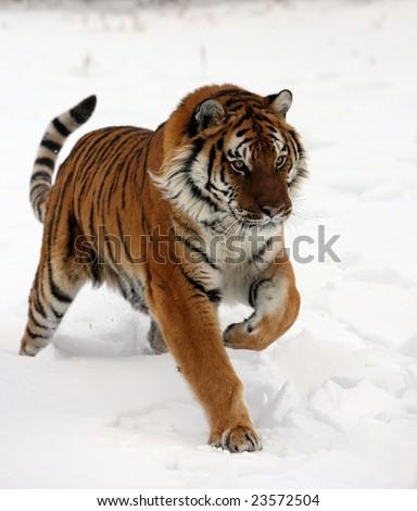 Siberian Tiger Running on New Snow