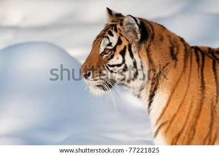 Siberian tiger running on snow