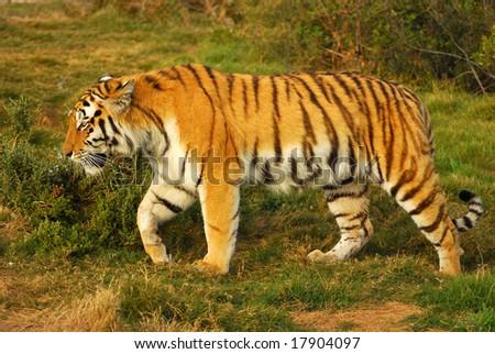 Siberian Tiger walking in game park