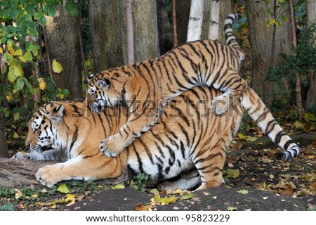 Siberian Tiger with young