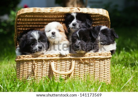 siblings of cute Elo puppies looking out of a basket