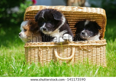 siblings of Elo puppies looking out of a basket