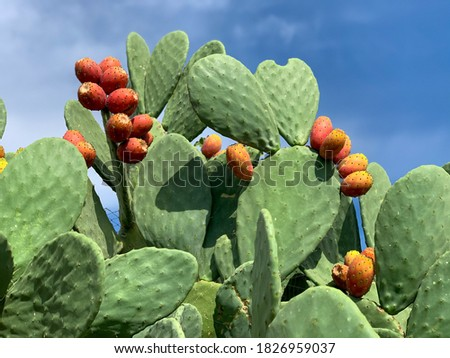 Sicilian Opuntia cactus plant with ripe orange prickly pears cactus fruits bottom-up view