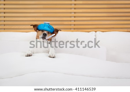 sick and ill  jack russell dog in bed sleeping or resting with pain and Headache and thermometer in mouth