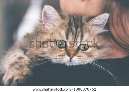sick chinchilla persian kitten cat worrying in examining and leaning on woman owner shoulder to go to see veterinarian doctor at vet clinic. animal and lifestyle concept. vintage photo and film style.