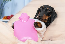 Sick dachshund dog lying on hospital bed in ward with pink heating water pad on its belly, on table are fruits left by visitors for speedy recovery. Device for relieving aches and soothing cramps.