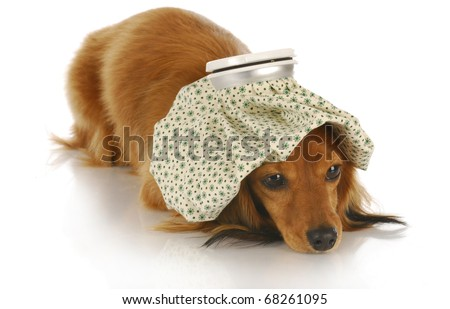 sick dog - dachshund with hot water bottle on head with reflection on white background