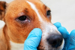 Sick dog with infected crusty eyes examination. Inspection, blepharitis. Close up of redness and bump in the eye of a dog. conjunctivitis eyes of dog.