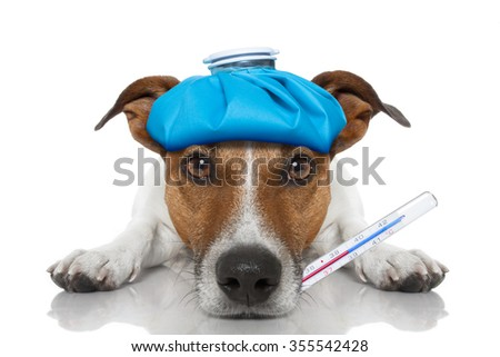 Sick ill dog with thermometer on mouth , ice pack on head , isolated on white background