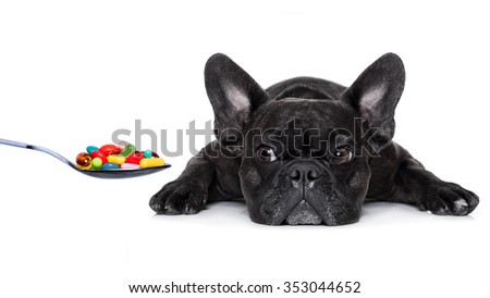 sick ill  french bulldog dog  and  pills in a spoon,  isolated on white background