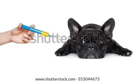 sick ill french bulldog dog  ,syringe on its way,  isolated on white background