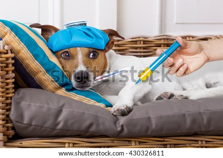 sick ill   jack russell  dog getting a shot or vaccine for the pain