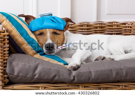 sick ill  jack russell  dog  in bed with pillow with thermometer in mouth ,high  fever suffering pain