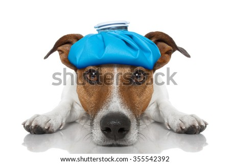 sick ill jack russell dog  isolated on white background with ice pack on head