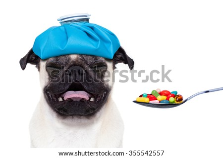 sick ill suffering pug dog with ice bag on head getting medicine pills on a spoon, isolated on white background