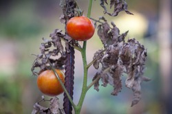 Sick or rotting tomatoes on the plant with apical rot disease. Damaged by disease and pests of tomato leaves yellowed by drought
