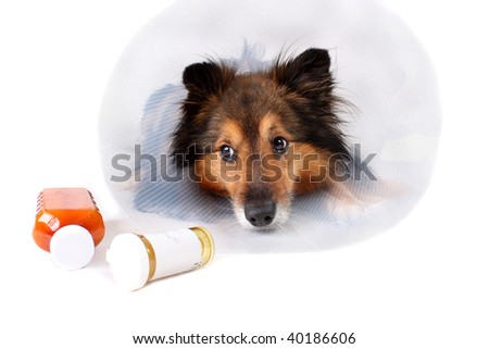 Sick Sheltie or Shetland sheepdog with dog cone collar and medicine bottles in the foreground