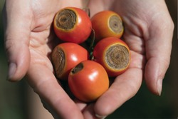 Sick tomato fruit affected by disease vertex rot