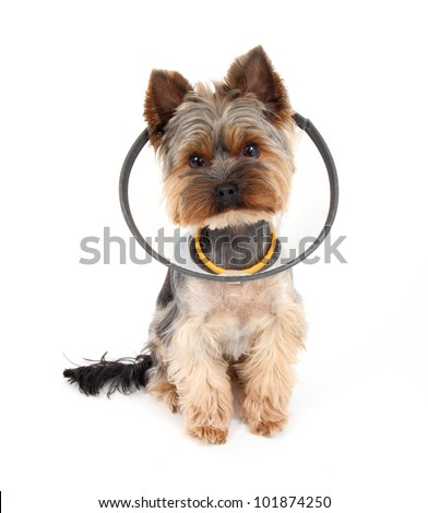 Sick  Yorkshire Terrier wearing a funnel  (protective) collar, on white background