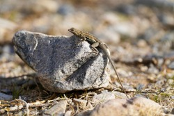 Side-blotched lizard sunning on a rock in the desert