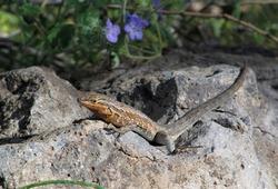 Side-blotched Lizard (Uta stansburiana) on rock at Bartlett Lake, Arizona