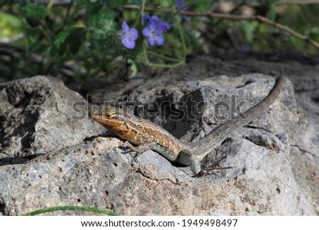 Side-blotched Lizard (Uta stansburiana) on rock at Bartlett Lake, Arizona Stock fotó ©