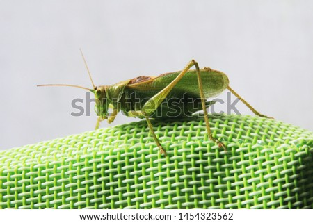 Side close up picture of a locust sitting on a green synthetic back of a garden chair