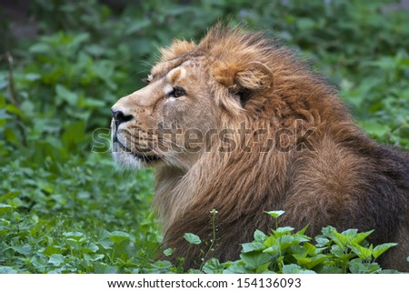 Side face portrait of an Asian lion, lying among green grass. The King of beasts, biggest cat of the world. The most dangerous and mighty predator of the world. Wild beauty of the nature.