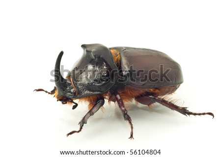 Side macro view of rhinoceros or unicorn beetle over white background (shallow DOF)