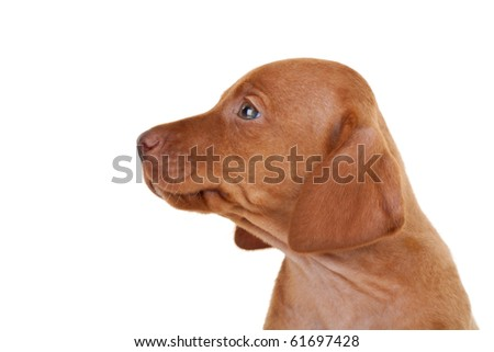 side of the head of a baby vizsla dog over white