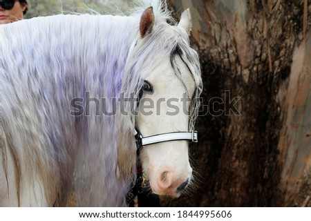 Side on shot of a gypsy Cob or Vanner horse, displaying her wonderful long silky mane, that has been dyed. Gypsy Cob mare in foal. Stock photo ©