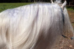 Side on shot of a magnificent silky mane on a white gypsy Vanner horse.  Gypsy cob is traditionally a small horse, stout build, and steady disposition.