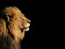 Side portrait of a big male African lion (Panthera leo) against a black background, South Africa