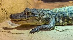 side portrait of middle sized crocodile, in zoo