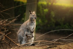 Side portrait of Red Necked wallaby (Macropus Rufogriseus) with baby in pouch