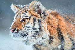 Side portrait of young Siberian tiger, Panthera tigris altaica,  male with snow in fur, walking in deep snow during snowstorm. Taiga environment, animal in freezing winter.