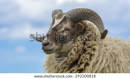 Side portrait Ram, sheep