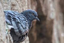 Side pose of a beautiful pigeon. Beautiful beek, eye and wings.