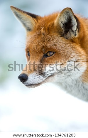 side profile of a fox against a background of snow/Fox