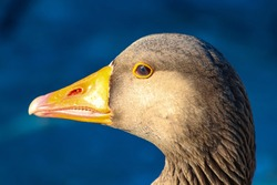 Side profile of a graylag goose