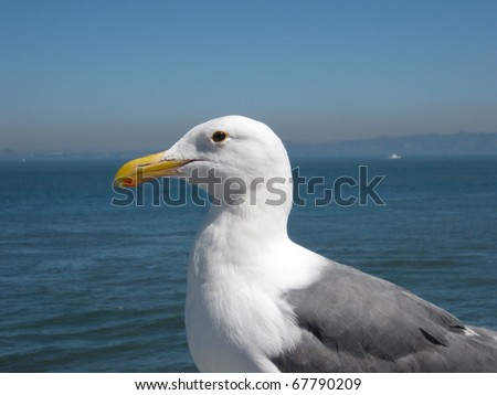 Side Profile of a Western Gull against the background of the San Francisco Bay