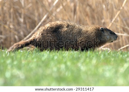 Side profile of a woodchuck (Groundhog)