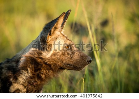 Side profile of an African wild dog in the golden light in the Kruger National Park, South Africa. #401975842