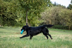 Side shot respectively action shot of a black Flat Coated Retriever dog running across a meadow to fetch a dummy at a portrait dog photo shooting with blurred out background