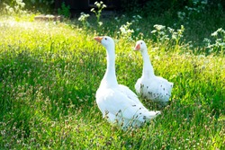 Side view A Healthy couple of white goose standing on green grass, A beautiful of two goose finding food and walking around on grass field in the hot sunny day on spring or summer