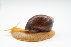 side view. A large land snail on a white background. unusual pets. unconventional cosmetology and medicine.