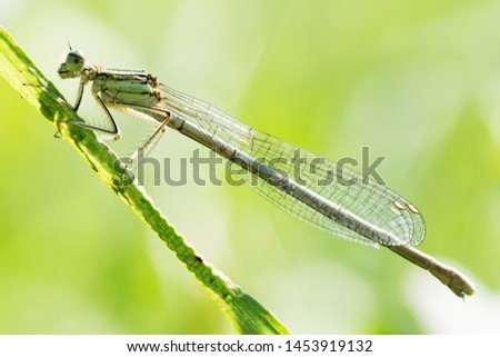 Side view animal portrait of dragonfly or damselfly insect on green background. #1453919132